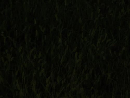 エノコログサの画像